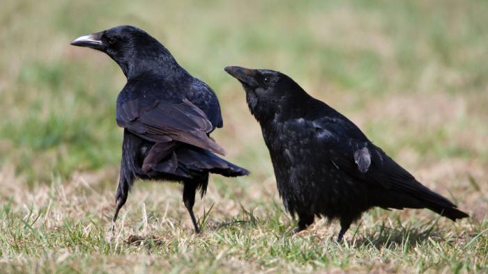 C4G78B Carrion Crow (Corvus corone), two on meadow showing courtship behaviour, Lower Saxony, Germany