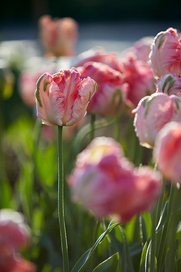 'Apricot Parrot' tulips grown by Bayntun Flowers