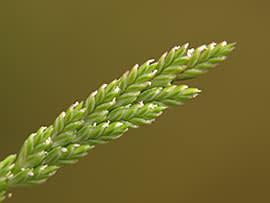 Sea fern-grass