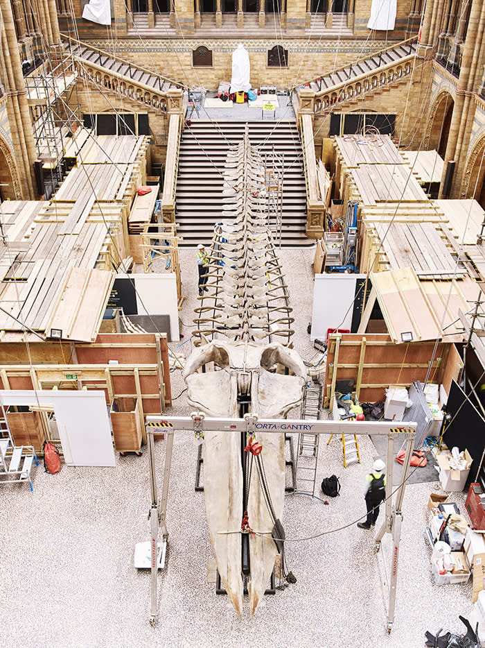 The blue whale's 25-metre skeleton is laid out on the floor of Hintze Hall before being raised to the ceiling