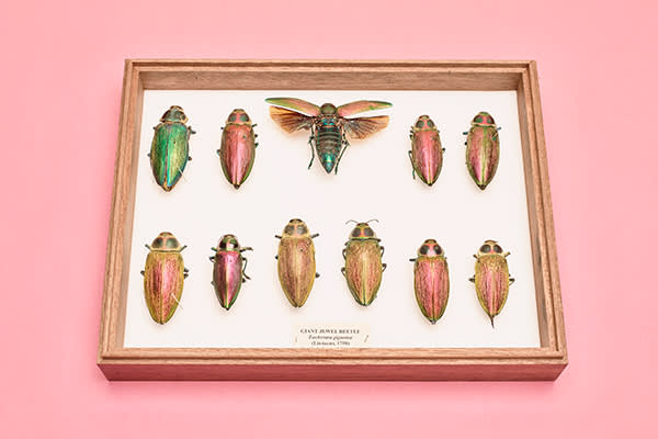 Giant jewel beetles gleam in metallic colours because their outer layers contain multiple microscopic reflectors