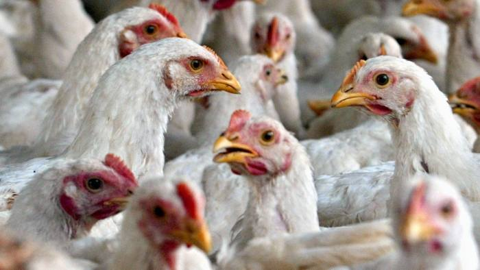 WORKERS...Chicken wait for feed at a poultry farm outskirt of Islamabad, Pakistan on Monday, Feb. 20, 2006. Pakistan banned Monday poultry imports from India, Iran and France, while prohibiting wild bird hunting to protect against bird flu, an official said. (AP Photo/Anjum Naveed)