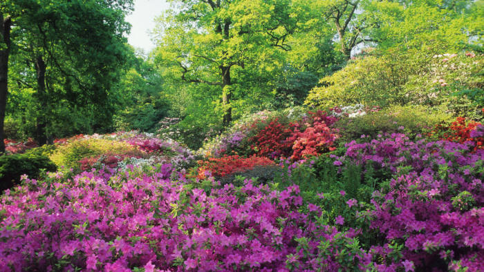 Rhododendrons and azaleas at the Isabella Plantation in Richmond Park