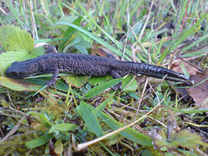 Greater crested newt at Coed Darcy