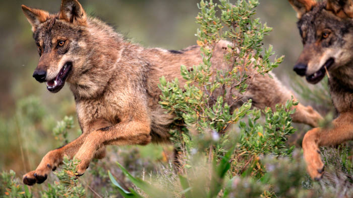 Canis lupus, the Iberian wolf