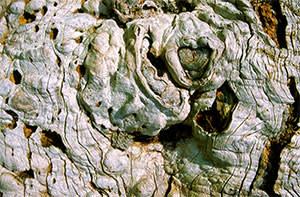 Trunk of an elm tree killed by Dutch elm disease