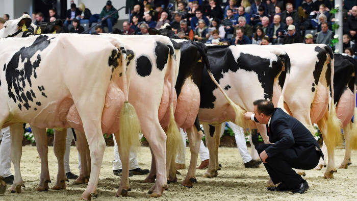 TOPSHOT - A judge inspects cows taking part in the 44th edition of the