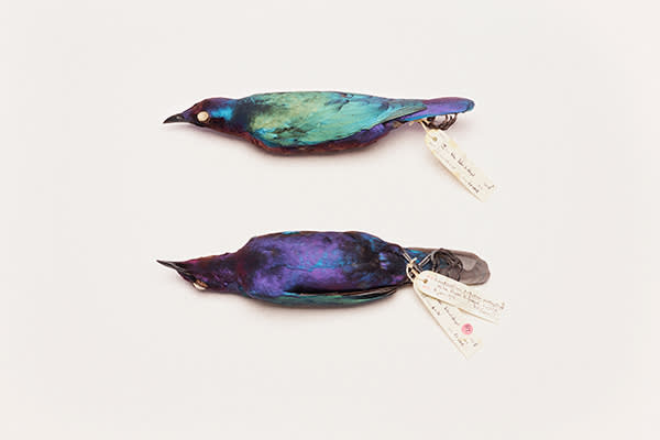 African glossy starlings retain their iridescence when preserved
