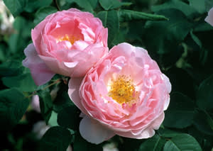 Two Rosa Constance Spry flowers