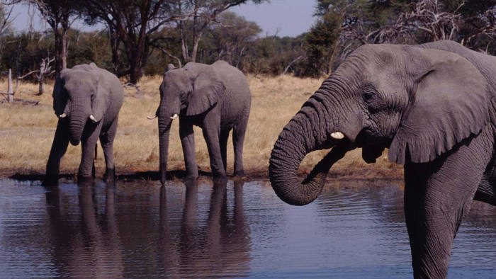 Image: Elephants drinking at watering hole