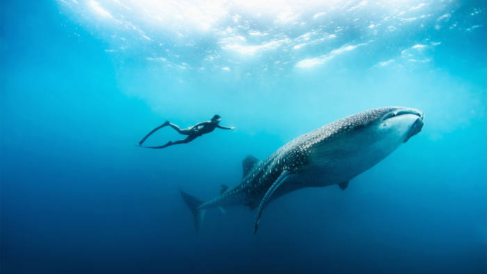 Image result for Swimming with Humpback Whales, Mozambique