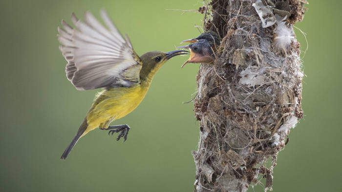 In this Saturday, Jan. 21, 2017 photo, an Olive-backed Sunbird feeds an insect to its two chicks in their nest in Klang, Selangor, Malaysia. Sunbirds, a group of very small passerine birds, feed largely on nectar, although they will also take insects, especially when feeding their young. Sunbirds are found in tropical Africa, India, and the forests of Southeast Asia, including the Philippines. (AP Photo/Vincent Thian, File)