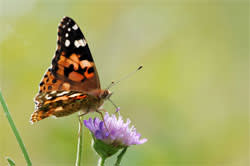 A painted lady on a flower of field scabious