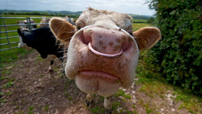 Close-up of an inquisitive bull with a nose ring