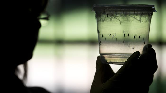 A researcher looks at Aedes aegypti mosquitoes kept in a container at a lab of the Institute of Biomedical Sciences of the Sao Paulo University, on January 8, 2016 in Sao Paulo, Brazil. Researchers at the Pasteur Institute in Dakar, Senegal are  in Brazil to train local researchers to combat Zika virus epidemic.  AFP PHOTO / NELSON ALMEIDA / AFP / NELSON ALMEIDA        (Photo credit should read NELSON ALMEIDA/AFP/Getty Images)