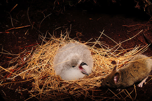 A petrel chick attempts to scare off a mouse