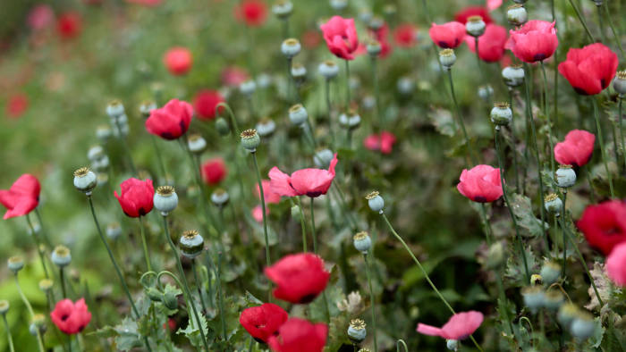View of a poppy field at Petatlan hills in Guerrero state, Mexico