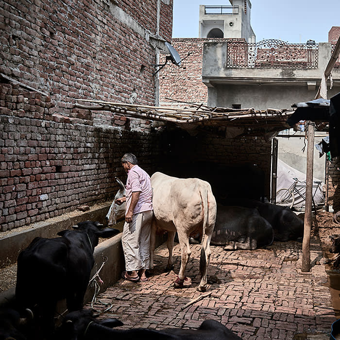 Jyoti's father Billu Ram, 65, tends to the families animals at their home in Raghuveeri Enclave, Pansonda, UP India, August 2017.