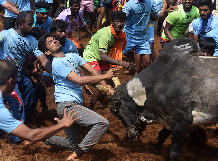Indian participants try to control a bull during an annual bull taming event 'Jallikattu' in the village of Palamedu on the outskirts of Madurai on January 15, 2018. / AFP PHOTO / ARUN SANKARARUN SANKAR/AFP/Getty Images