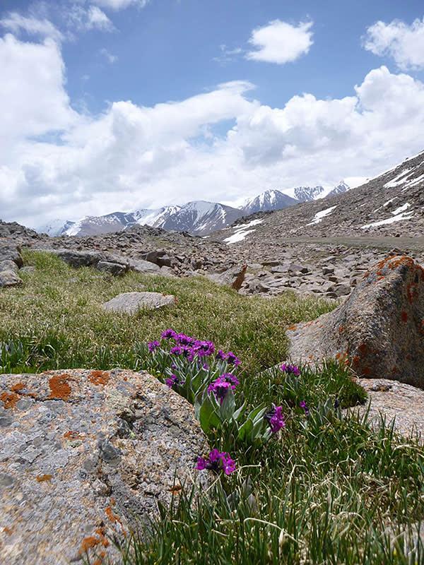 Rare Primula nivalis farinosa