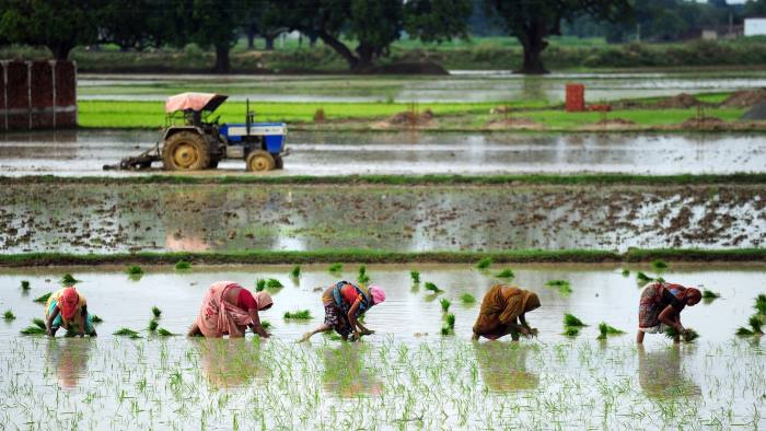 Indian female farmers sow paddy in a field during monsoon season near Allahabad on July 19, 2014. The monsoon rains, which usually hit India from June to September, are crucial for farmers whose crops feed hundreds of millions of people