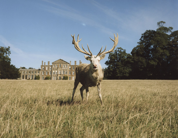 One of the estate's white stags