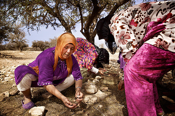 Berber women gather fruits in an argan grove. Once dried, the kernels are pressed for oil and the husk used to feed livestock