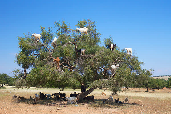 Goats in the branches of an argan tree. Historically, the animals formed part of the production process, by eating the fruit and leaving behind clean kernels in their dung