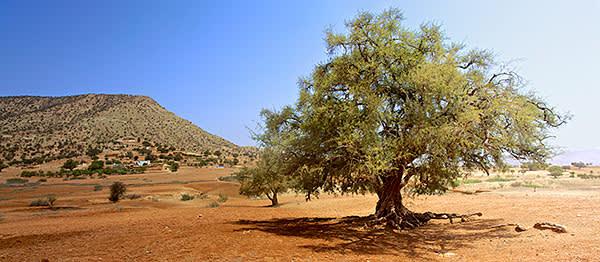 An argan tree outside a Berber village