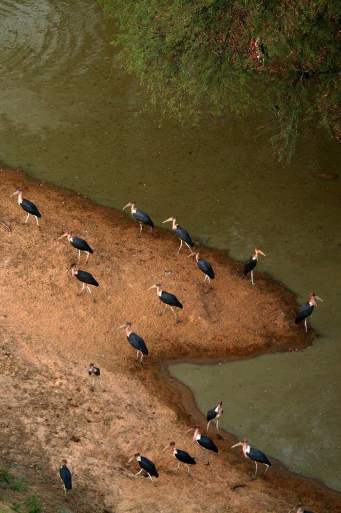 FRW7K2 Chad, Zakouma National Park, african marabous