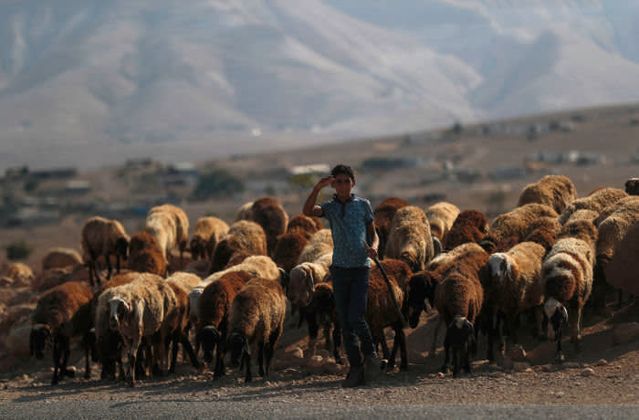 Mandatory Credit: Photo by ATEF SAFADI/EPA-EFE/Shutterstock (10412286e) A Palestinian shepherd leads his flock to a water stream near the West Bank village of Auja in the Jordan Valley, 12 September 2019. According to reports, Israeli Prime Minister Benjamin Netanyahu has stated its intention to annex and contain Israeli sovereignty over the Jordan Valley in coordination with the US administration immediately after the elections. Israeli legislative election will be held on 17 September. Netanyahu has Stated its Intention to Annex and Contain Israeli Sovereignty over the Jordan Valley, Auja, --- - 12 Sep 2019