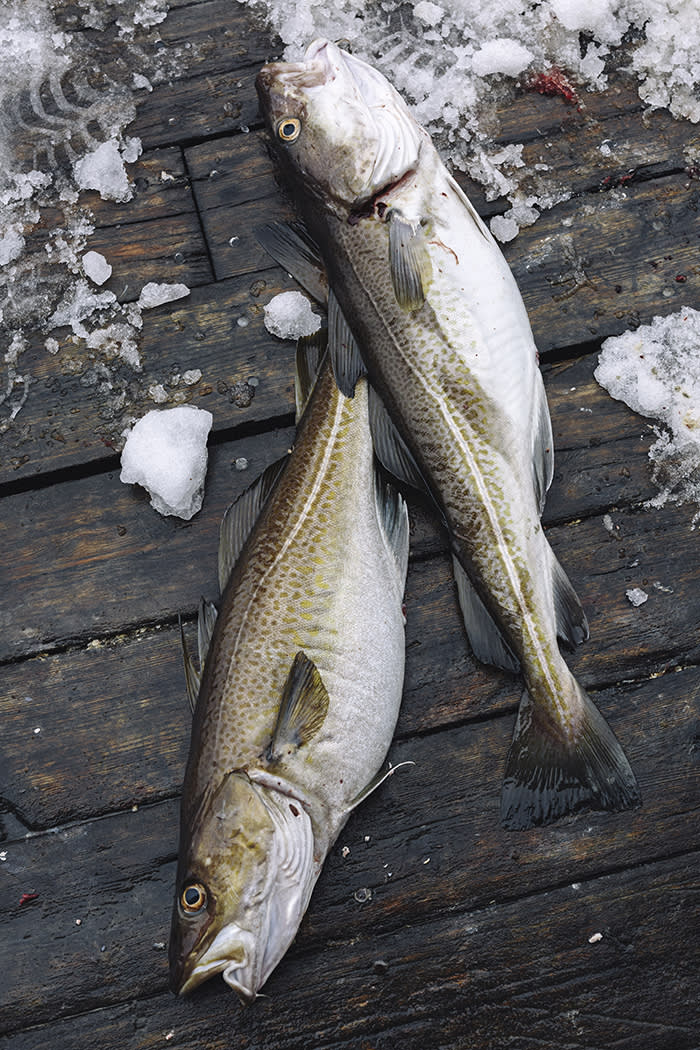The Lofoten cod weigh from 15kg to 30kg and when salted, smoked or air-dried can last for years without refrigeration