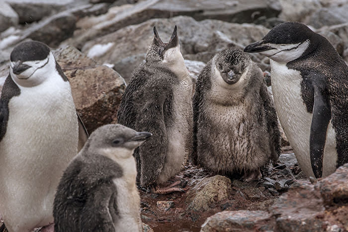 Chinstrap penguins and their chicks huddle amid the rain – their downy coats are highly adapted to snow but less effective in wet weather, which is increasing with climate change