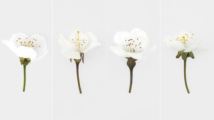 Snapshot: 'A Typology of British Cherry Blossom' (2019) by Sam Vale