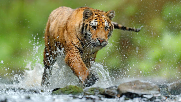 pfeatures, Tiger with splash river water. Tiger Action wildlife scene, wild cat, nature habitat. Tiger running in water. Danger animal, tajga in Russia. Animal in the forest stream. Grey Stone, river droplet.