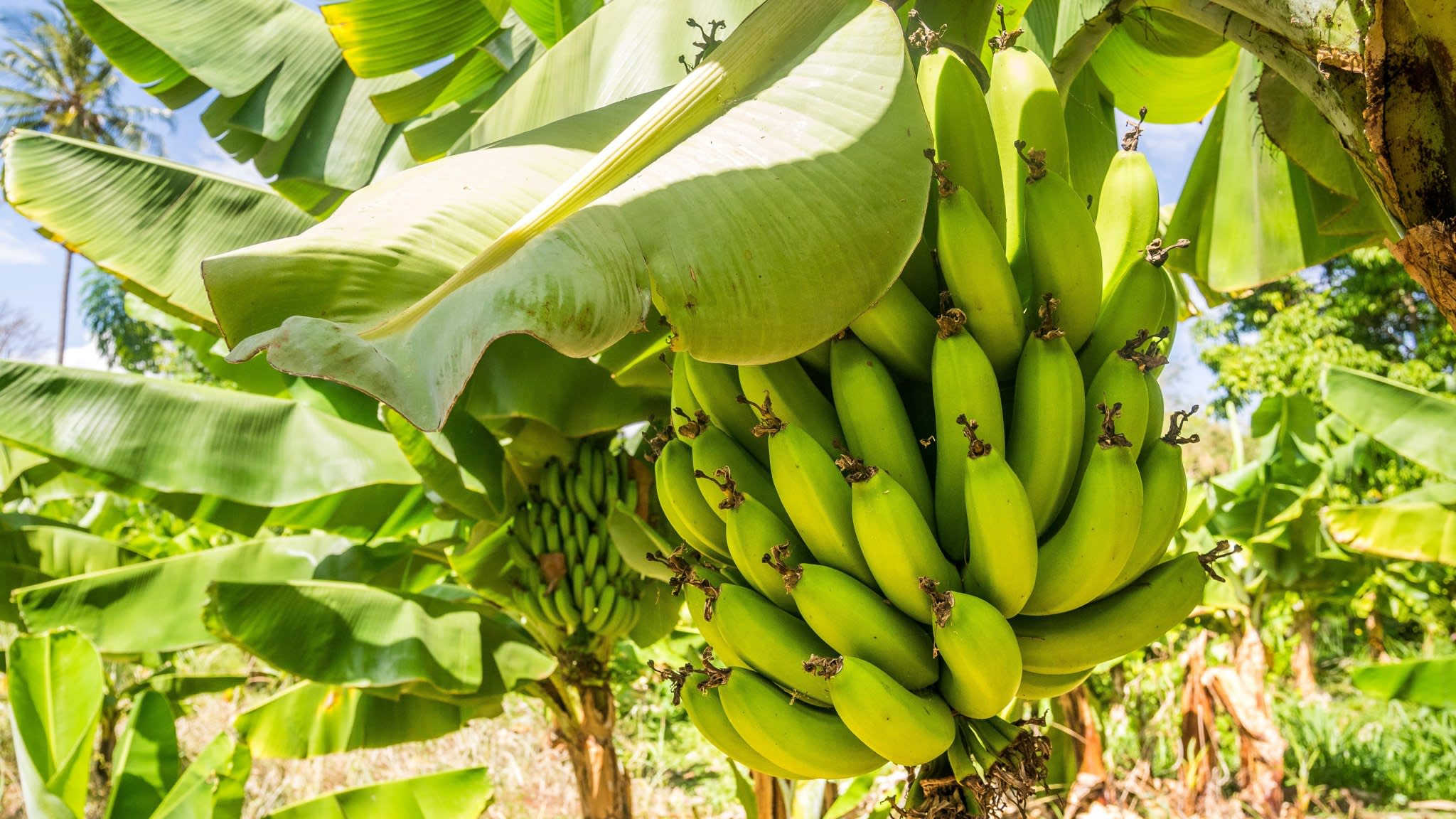 Bananas grown without soil for first time in effort to curb deadly disease | Financial Times