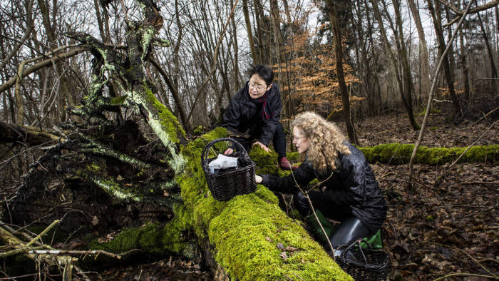 Mycologists from Novozymes, Mikako Sasa, left, and, Sara Landvik often wander through the woods looking for new and fascinating fungi. Here, they are looking for wood-degrading fungi on dead tree trunks in Hareskoven, near Copenhagen. Fungi have an important role in the ecosystem for degradation and turnover of biomass, such as trees and twigs that fall on the ground. NOVOZYMES HANDOUT