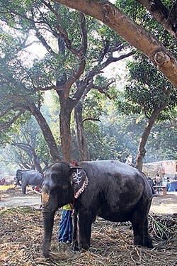An elephant at the Sonepur fair