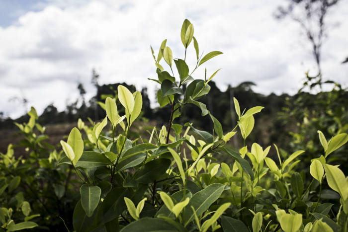 Coca fields and Coca leaves grow in Colombia. Photographer: Nicolo Filippo Rosso/Bloomberg