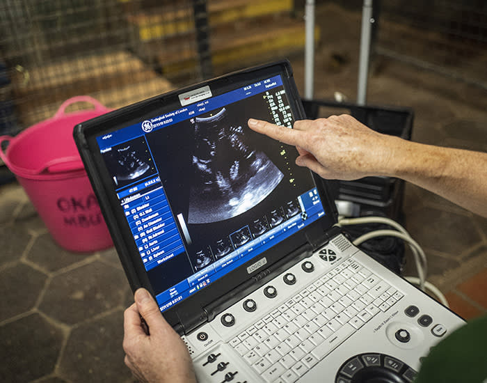 27/11/2019 FT Seasonal appeal at ZSL, London Zoo. To go with Clive Cookson copy. Vet, Tai Strike, conducts an ultrasound of a pregnant Okapi at London Zoo this morning.