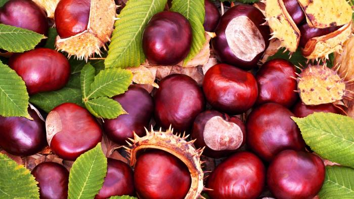 Close up of Conkers with autumn leaves
