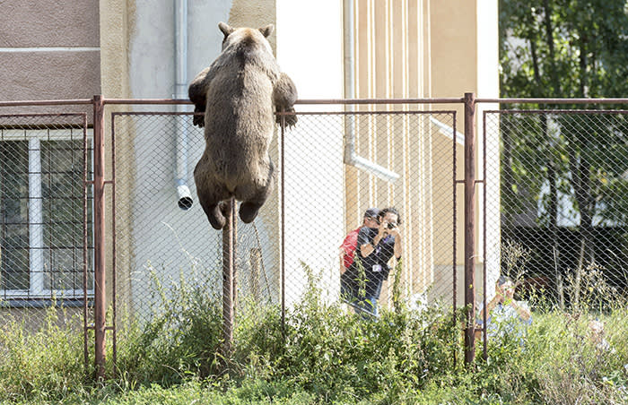 A male brown bear is seen at the courtyard of the Octavian Goga high school in the Transylvanian city of Csikszereda, or Miercurea Ciuc in Romania, Tuesday, Aug. 21, 2018. The bear broke into several homes and even killed a goat. In the end the bear was killed by a hunter. (Nandor Veres/MTI via AP)