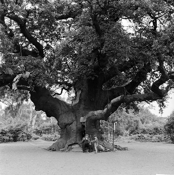 Major Oak, c1955