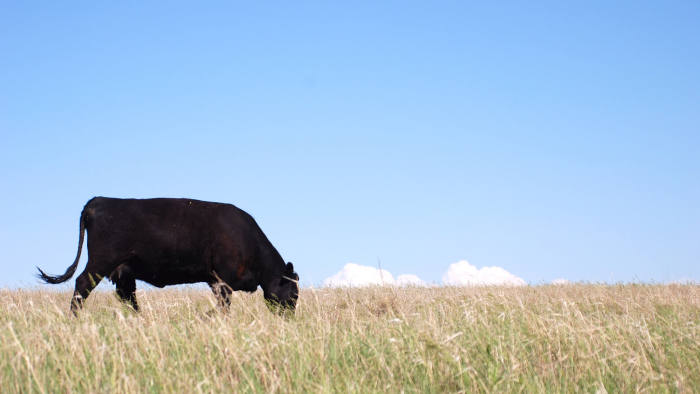 A black angus cow eating grass