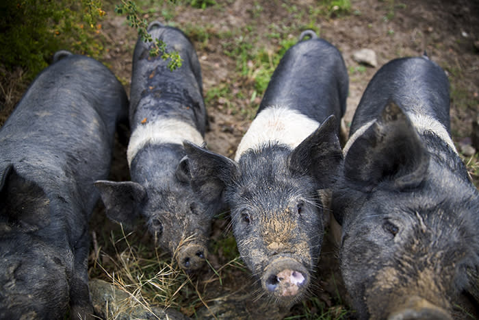 Piglet progeny – 'Out of 'Imogen Poots' by 'Taika Waititi' (there is another boar here that Sam named after Taika…he's the Dad of these Saddleback piglets) (C) Vaughan Brookfield for the FT