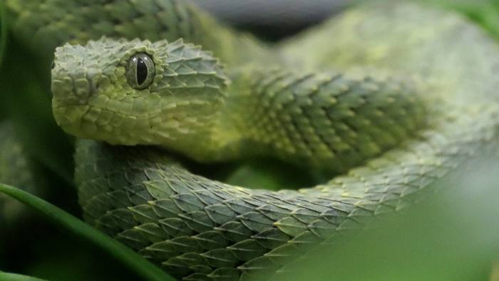 FILE - In this Dec. 14, 2018, file photo, an African Bush Viper venomous snake is displayed for reporters at the Woodland Park Zoo, in Seattle. The World Health Organization is publishing its first-ever global strategy to tackle the problem of snake bites, announced on Thursday, May 23, 2019, aiming to halve the number of people killed or disabled by snakes by 2030. (AP Photo/Ted S. Warren, File)