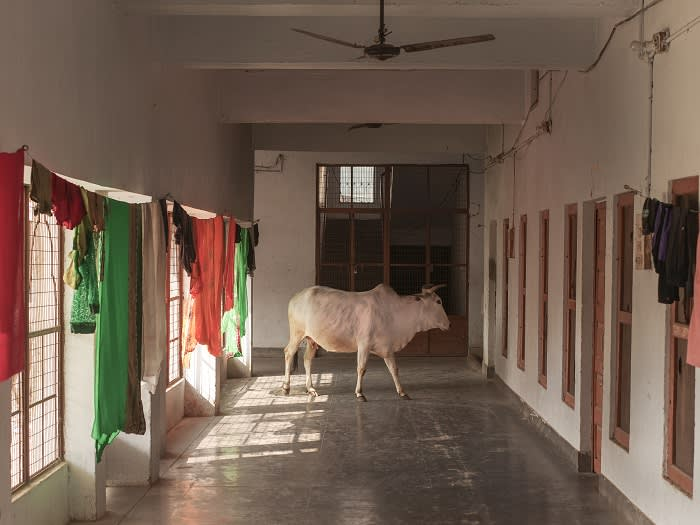 """Stray cow roam freely at the head quaters of the right wing Vishwa Hundu Parishad (VHP) in Ayodhya. Cow vigilante violence involving mob attacks in the name of """"cow protection"""" targeting mostly Muslims, has swelled since 2014."""
