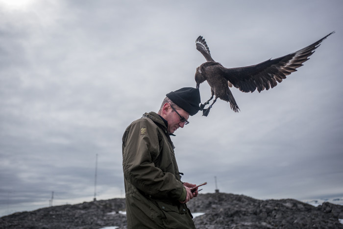 A skua swoops down to steal Richard Phillips' hat