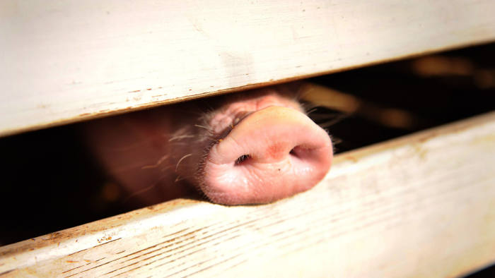 (FILES) In this file photo taken on August 19, 2009 A pig pokes his snout through the rails of it's holding pen at the 61st Montgomery County Agricultural Fair in Gaithersburg, Maryland. - The Philippines on Monday reported its first cases of African swine fever, becoming the latest country hit by the disease that has killed pigs from Slovakia to China, pushing up pork prices worldwide. (Photo by Tim SLOAN / AFP)TIM SLOAN/AFP/Getty Images