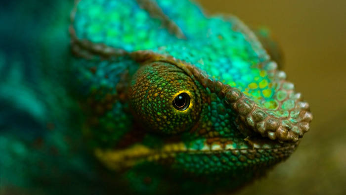 CEF41P Head of colorful Panther chameleon or Chamaeleo pardalis in close view with shallow dept of field